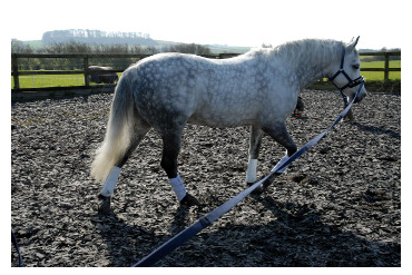Lunging grey_L.R