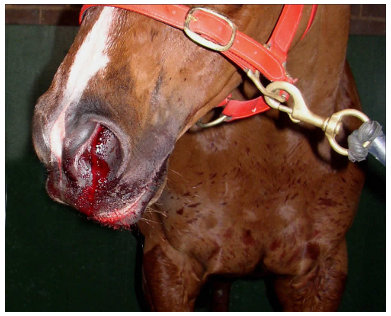 NOSE BLEED_EIPH_horse