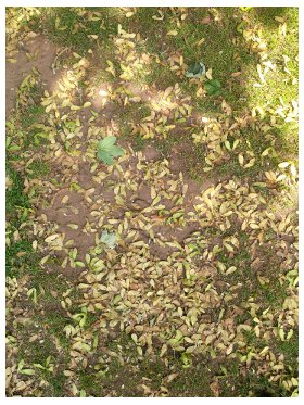 Sycamore seeds ground